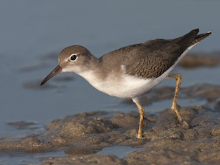 - Spotted Sandpiper