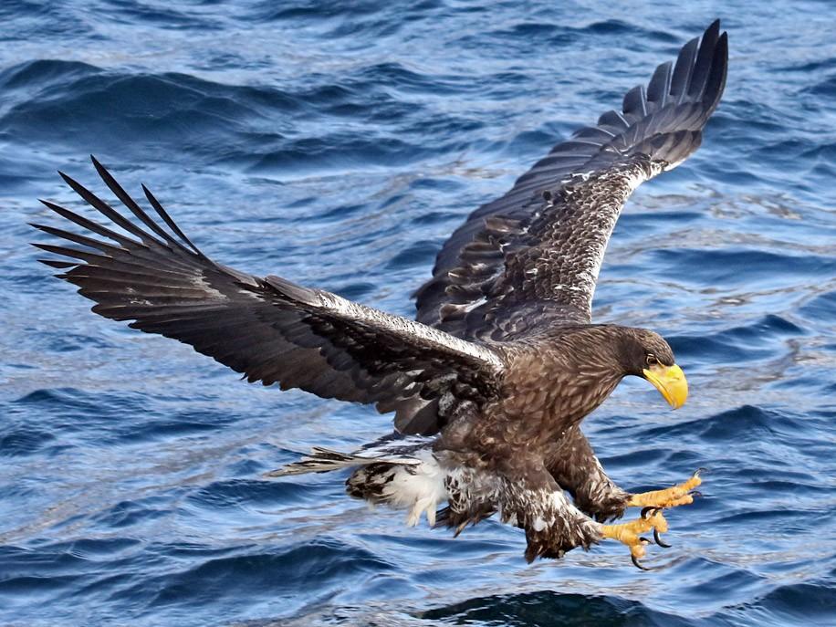 Steller's Sea-Eagle - Charley Hesse https://www.schoolofbirding.com/