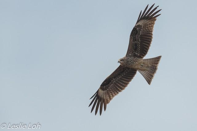 Black Kite (Black-eared)