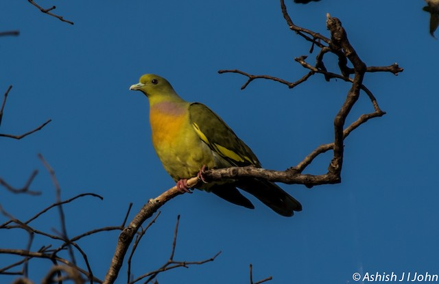 Orange-breasted Green-Pigeon