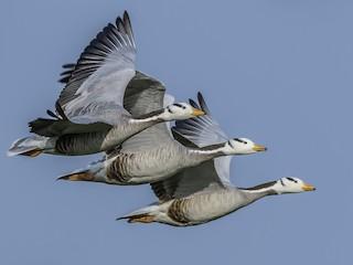 - Bar-headed Goose