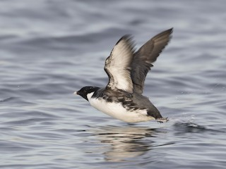 - Ancient Murrelet