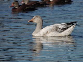 Snow Goose, ML189614731