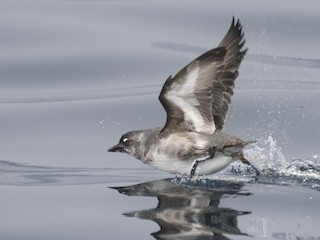 - Cassin's Auklet