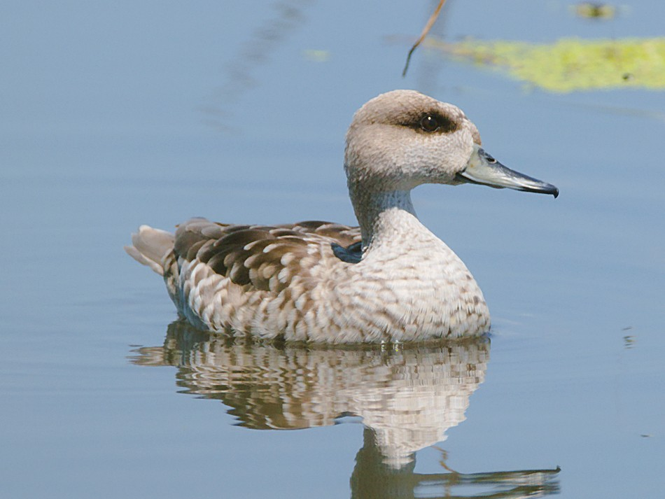 Marbled Teal - Anonymous eBirder