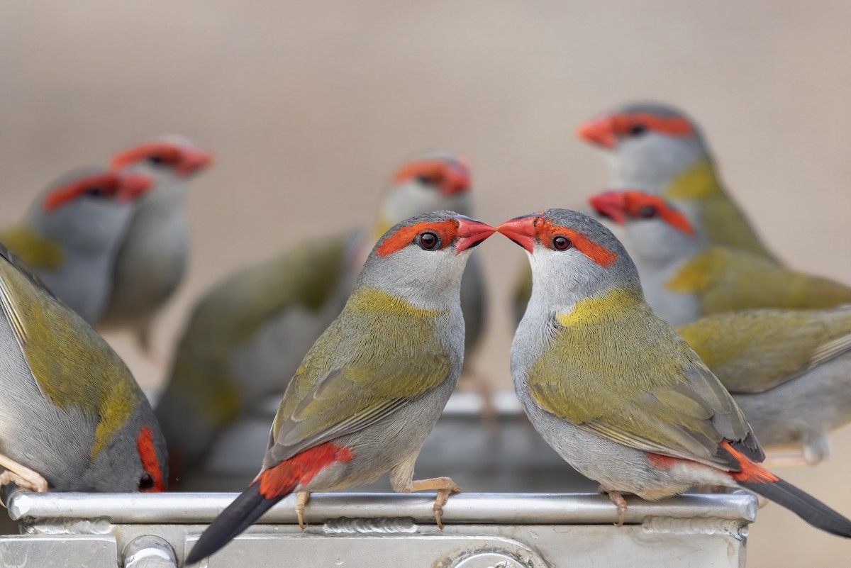 Red-browed Firetail ML189899841