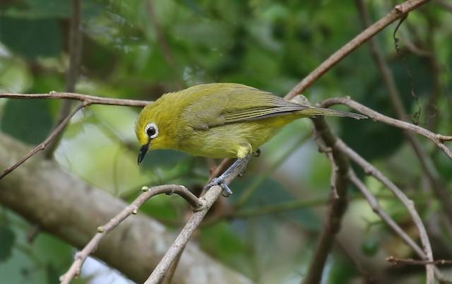 African Yellow White-eye