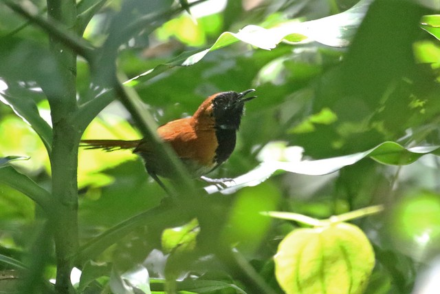 Black-faced Rufous-Warbler
