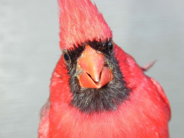 Definitive Basic male Northern Cardinal showing extent of melanin-based face mask from the front.