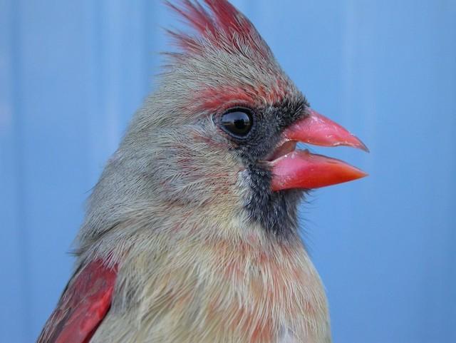 Definitive Basic female Northern Cardinal showing a large and dark melanin-based face mask.