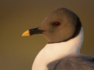 - Sabine's Gull