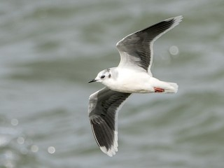 - Little Gull