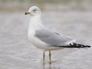 - Ring-billed Gull