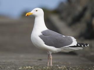 - Western Gull