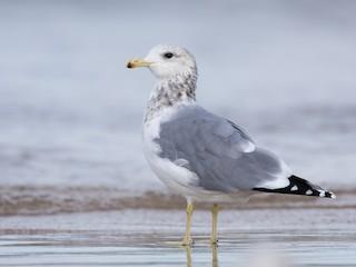 - California Gull