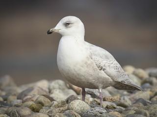 - Iceland Gull