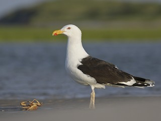- Great Black-backed Gull