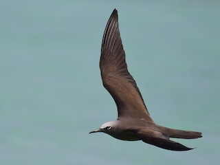 - Brown Noddy