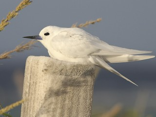 - White Tern