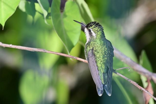 Cozumel Emerald