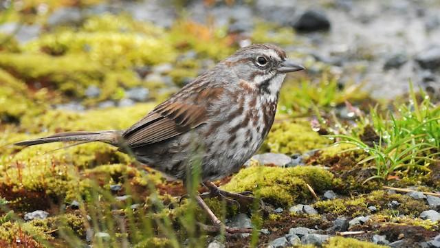 Song Sparrow (sanaka/maxima)