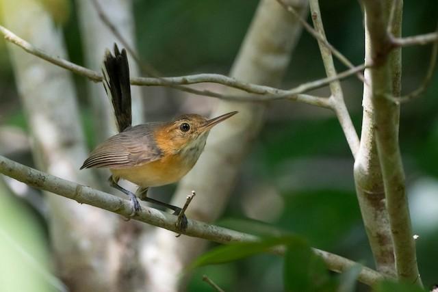 Long-billed Gnatwren (presumed subspecies <em>ardeleo</em>).