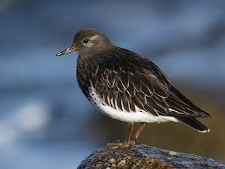 - Black Turnstone