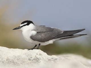 - Gray-backed Tern