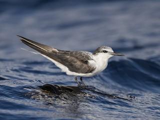 - Bridled Tern
