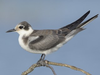 - Black Tern