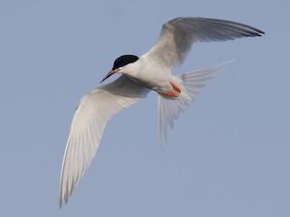 - Roseate Tern