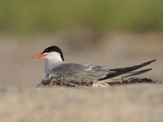 - Common Tern