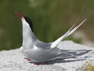 - Arctic Tern