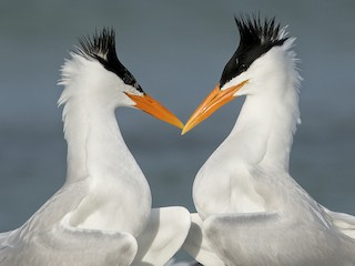 - Royal Tern