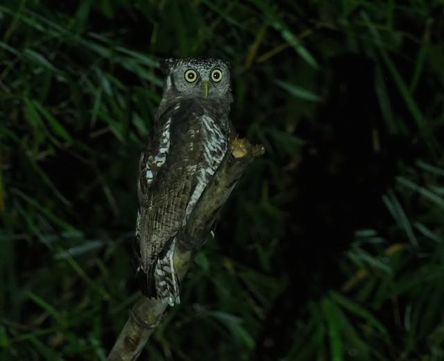 Akun Eagle-Owl