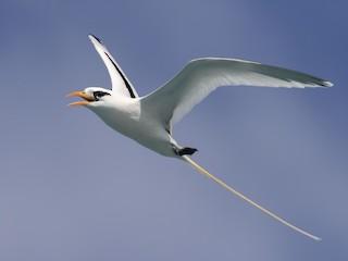 - White-tailed Tropicbird