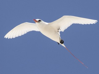 - Red-tailed Tropicbird