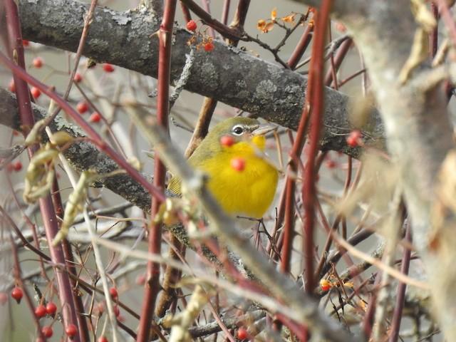 ©Brendan Thomas - Yellow-breasted Chat