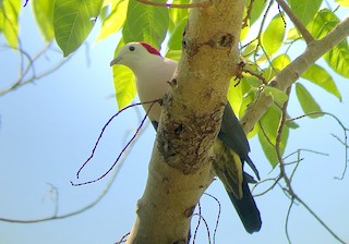 - Red-naped Fruit-Dove