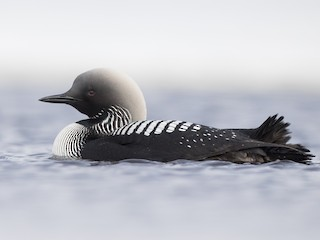 - Pacific Loon