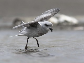 - Fork-tailed Storm-Petrel