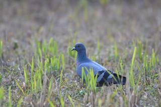 Rock Pigeon (Feral Pigeon), ML191013861