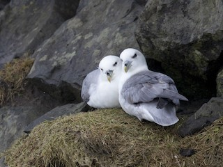 - Northern Fulmar (Atlantic)