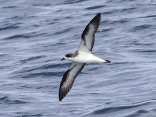 - Hawaiian Petrel