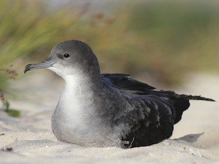- Wedge-tailed Shearwater