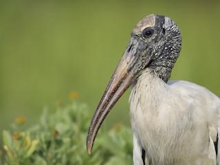 - Wood Stork