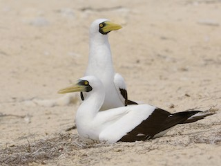 - Masked Booby
