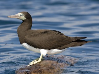 - Brown Booby (Brewster's)