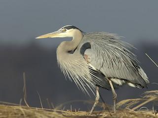 - Great Blue Heron