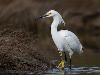 - Snowy Egret